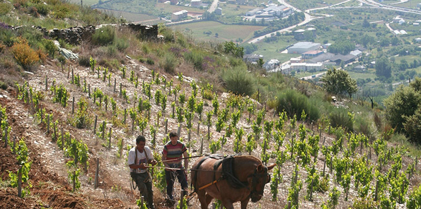 Trabajo con fuerza animal en los viñedos