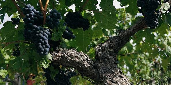 Racimos de uvas tintas