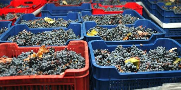 La uva recogida en cajas
