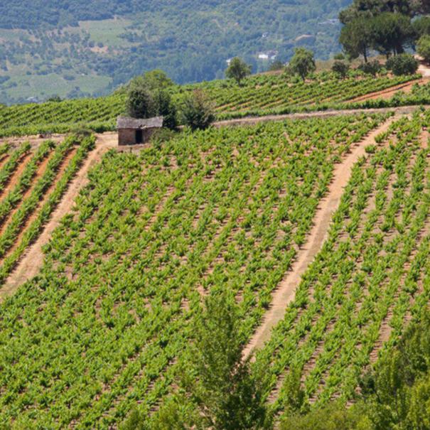 Vista de Viña Sapita, viñas viejas de Mencia de 106 años