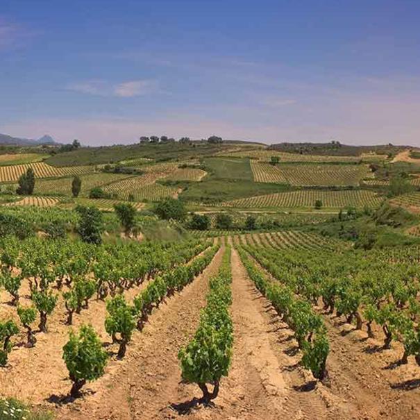 Paisaje de viñedos