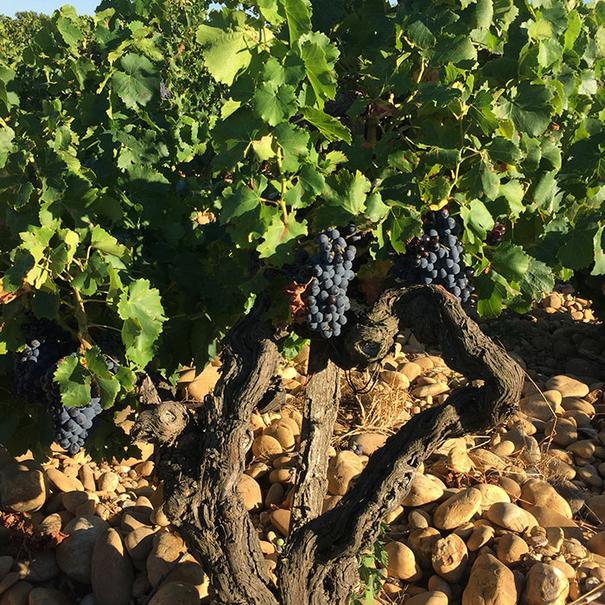Cepa del viñedo del Domaine Raymond Usseglio