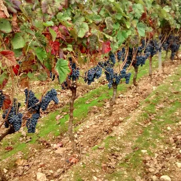 Detalle del viñedo Sameirás