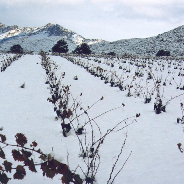 Viñedos nevados